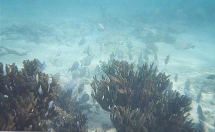 Underwater photo of school of fish swimming around coral.