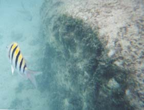 Underwater photo of yellow and white fish with distinctive black tiger stripes.